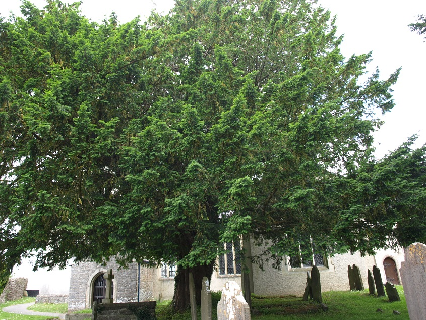 Yew in Denbury churchyard